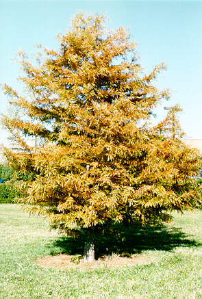 Bald Cypress in the Fall