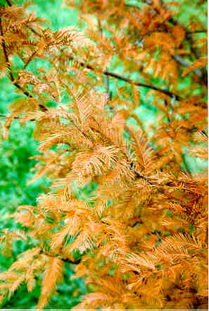 Dawn Redwood in the fall