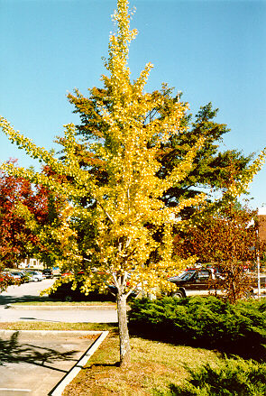 Gingko in the fall