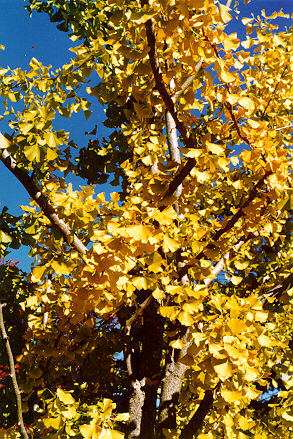 Gingko foliage in the fall