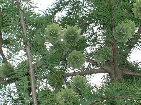 Golden Larch cones