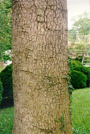 Hardy Cedar of Lebanon bark