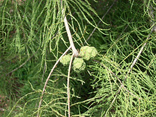 Pond Cypress cones