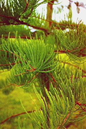 Pond Cypress foliage
