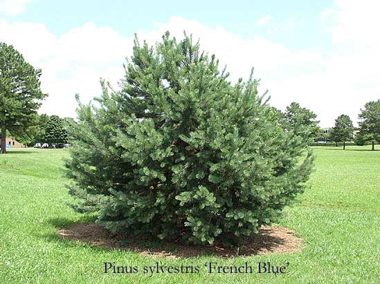 French Blue Scotch Pine