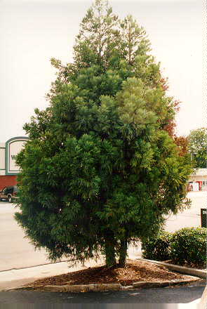 Sekkan Sugi Japanese Cryptomeria used in landscaping
