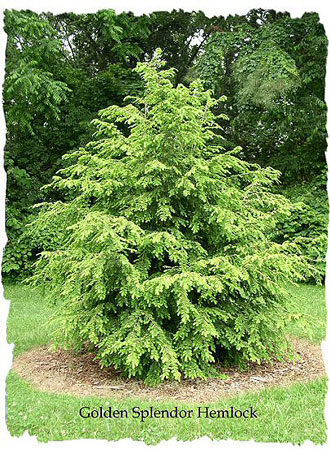 Golden Splendor Canadian Hemlock