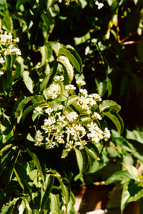 Seven Sons Tree flowers