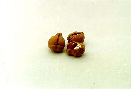 Red Buckeye seeds