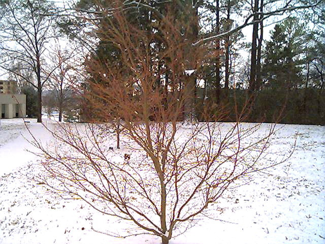 Coralbark Maple in the snow