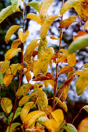 Fragrant Epaulettetree in the fall