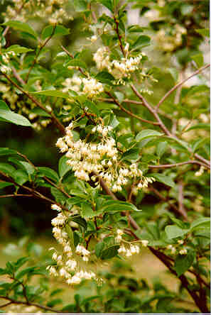 Fragrant Epaulettetree flowers