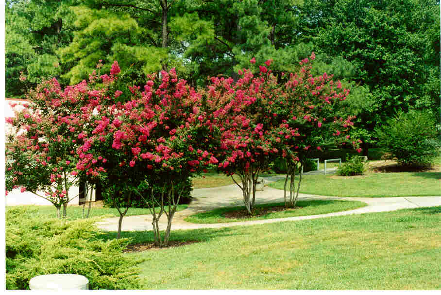 Indian species Crapemyrtles