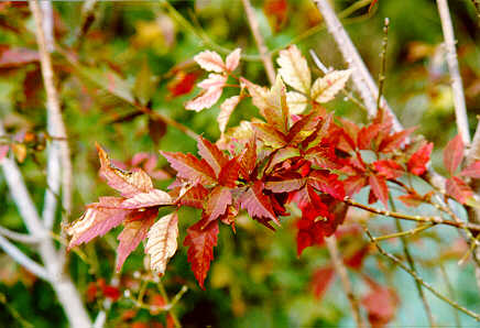 Ivyleaf Maple foliage in the Fall