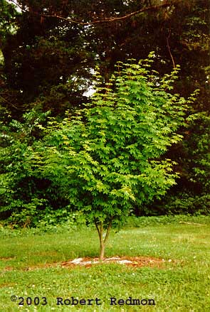 Oregon Vine Maple