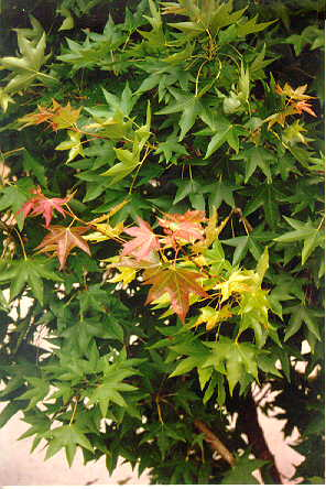 Purpleblow Maple foliage