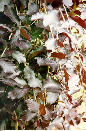 Weeping Purpleleaf European Beech foliage