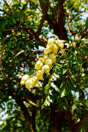 Golden Raintree capsules