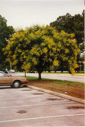 Golden Raintree