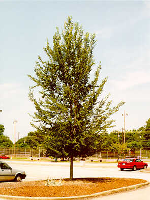 Regal Lacebark Elm used in landscaping
