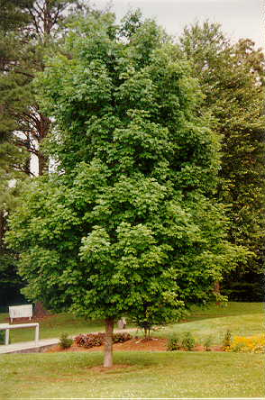 Sugar Maple used in landscaping