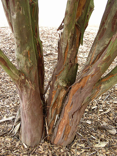 Townhouse Crapemyrtle bark