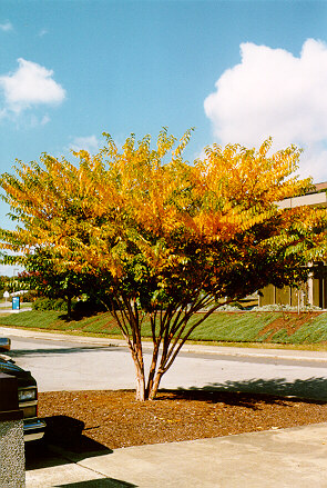Townhouse Crapemyrtle in the Fall