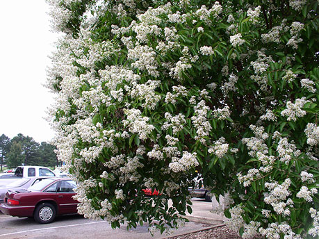 Townhouse Crapemyrtle flowers