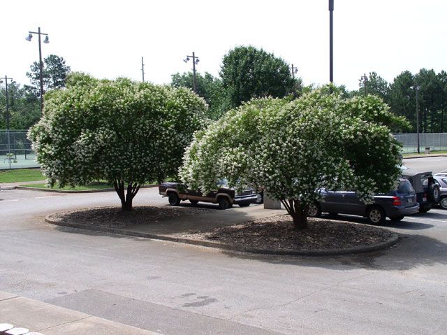 Two Townhouse Crapemyrtles used in landscaping