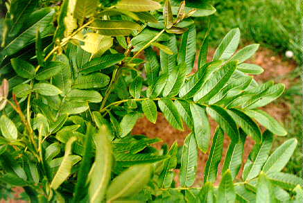 Chinese Wingnut foliage