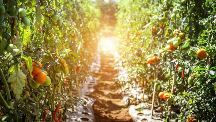 pathway between tomato fruits tn.'